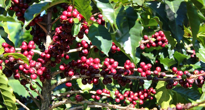 Coffee cherries Greenbean coffee