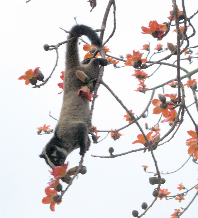 Kopi Luwak Civet Coffee Civet feeding